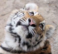 Sooooooooo sweet!!! - Amur Tiger Baby by cindy1701d.deviantart.com on @deviantART