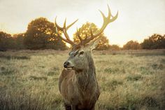 Large Size Wall Art 24x36 Free Shipping Home Decor, Deer Photo, Animal, graceful, antlers, Richmond Park, London on Etsy, $154.00