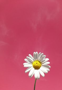 🌼 Daves Daily Daisy 🌼 Hello there my fellow Picsartist's wishing you all a fantastic day 👋 👍😀😎🌼💕 Pink Daisy Wallpaper, Wallpaper Nature Flowers, Vintage Flowers Wallpaper, Beautiful Landscape Wallpaper, Sunflower Wallpaper, Flower Background Wallpaper, Flower Phone Wallpaper, Cellphone Wallpaper, Flower Backgrounds