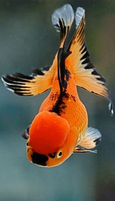 I absolutely love goldfish! They are my faves, and are so underrated. I could go on and on on why they are the perfect fish. :)