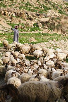 a shepherd calling his sheep