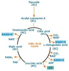 Citric acid cycle Essay