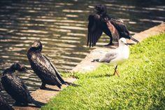 Seagull and Little Cormorants - Einbunpin Lagoon, Sandgate, QLD, Australia