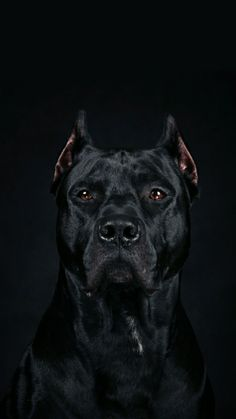 Beautiful cane corso