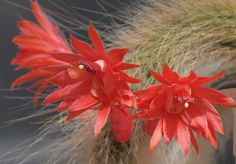 Apenstaart (Cleistocactus colademononis)