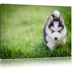 Enchanting Husky Puppy Framed Photographic Art Print East Urban Home Size: H x W Cute Husky, Husky Puppy, Frames On Wall, Framed Wall Art, What Is A Shadow, Watercolor On Wood, Canvas Art, Canvas Prints, Wood Print