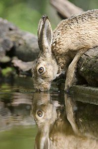 European Hare Drinking by Science Photo Library