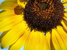 Golden Sunflower photo prints and cards by Christina Shaskus at Fine Art America