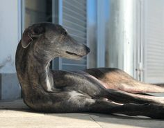Mojave Blue Moon Guapa #greyhounds#hounds#dogs