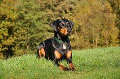 Cachorro Doberman: descubra como é este animal, suas características físicas, caráter, comportamento, etc. O Doberman, ou Doberman Pinscher, é um cachorro elegante,...