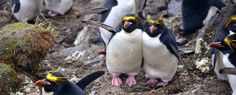 Help scientists to monitor penguins - Album on Imgur