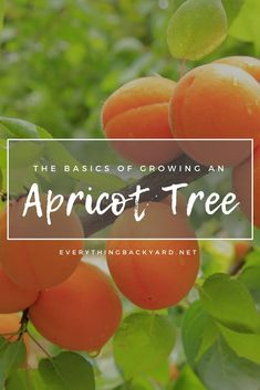 Learn how to grow an Apricot tree! You can never go wrong with eating a delicious a fresh apricot. In this article, we'll go over everything you need to know about growing your own apricot tree. Planting Fruit Trees, Prune Fruit, Fruit Tree Garden, Fruit Plants, Garden Trees, Big Garden, Garden Pots, Growing Cherry Trees, Growing Tree