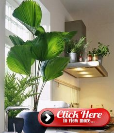 Licuala-Palme - Bild 5 - [LIVING AT HOME] Best Picture For flowering house plants For Your Taste You are looking for something, and it is going to tell you exactly what you are looking for, and you di Tall Indoor Plants, Potted Plants Patio, Indoor Palms, House Plants Decor, Big Plants, Tropical Plants, Hanging Plants, Growing Plants, Plant Decor