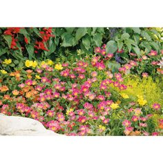 FULL SUN 2017 DUPLICATE WITH GARDEN PHOTO Proven Winners Mojave Yellow Moss Rose (Portulaca) Live Plant, Yellow Flowers, 4.25 in. Grande, 4-pack-PORPRW1177524 - The Home Depot
