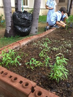 Morning glory has been growing well in the Berkeley garden!