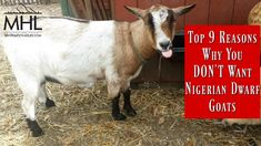 Top 9 Reasons Why you DON'T Want Nigerian Dwarf Goats. Thinking of adding goats to the homestead or your backyard? Read this first! Keeping Goats, Raising Goats, Tiny Goat, Types Of Goats, Old Fashioned Names, Goat Shed, Female Goat, Goat Shelter, Goat Care