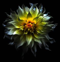 My Favorite Dynamic Dahlia by Stephen Swihart #flower #florainspirations #floratextures #nature #inspiration bykoket.com/home.php