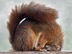 Sleeping squirrel - slapende eekhoorn