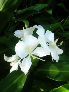 Hedychium coronarium 'White Butterfly Ginger' (Mariposa- the national flower of Cuba)  It is the most fragrant of the Hedychiums.