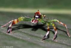 big-eyed jumping spider from W-Java - Yellow-lined Epeus ♂ Cool Insects, Bugs And Insects, Weird Insects, Spiders And Snakes, Scary Spiders, Tiny Spiders, Spider Mites, Itsy Bitsy Spider, Jumping Spider