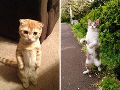 Gallery of Awkwardly Standing Cats