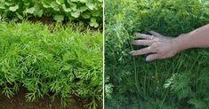 Kopr někteří milují, ale jiní nenávidí. Pokud patříte do první skupiny, ukážeme si, jak si ho můžete jednoduše vypěstovat u vás doma Parsley, Teen, Herbs, Herb, Medicinal Plants