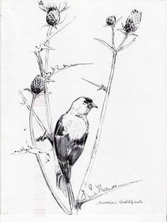 American Goldfinch - pen and ink drawing composition