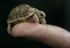 So tiny and adorable I think I'd have a hard time not crunching into it like a delicious turtle cookie.