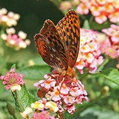 Orange & Brown Butterfly