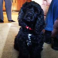 #cockerspaniel #puppy Looks just like Penny!