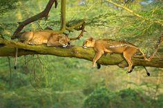 African Lions by Stephen W. Oachs