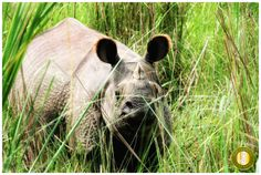 2014 is the Third year of zero poaching for Nepal,  Read more on our blog at http://goo.gl/3CovZh Contributed by Vineeta Yadav #rhino #ChitwanNationalPark