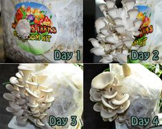 Once the mushrooms start to pop it only takes a few days until they are ready to harvest! Edible Mushrooms, Stuffed Mushrooms, Growing Mushrooms At Home, Mushroom Kits, Grow Organic, Grow Your Own Food, Harvest, Pop, Vegetables