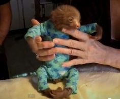 Nothing says adorable baby picture like a sloth wearing a onesie. Judy Avey-Arroyo runs the only sloth sanctuary in the world, and takes in orphaned baby sloths like this one. Baby Otters, Baby Sloth, Cute Sloth, Cute Baby Animals, Funny Animals, Wild Animals, Pet Monkey, Cutest Thing Ever, Slumber Parties