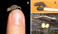 Extremely Tiny Chameleons Discovered In Madagascar:  It's hard to even fathom an imaginary creature as good this — presenting the world's best animal, chameleons that lay golden eggs and can stand on a match tip, found on a remote, magical island
