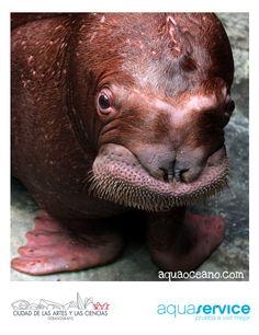 ¡Nos apasiona la vida en el agua! Aquaservice patrocina las morsas del Oceanogràfic: http://www.aquaoceano.com #walrus