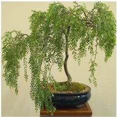 Perfect Weeping Willow Bonsai