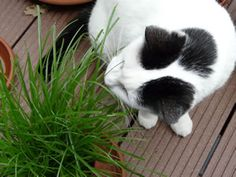 Katzengras selbst ziehen - Pflege-Anleitung