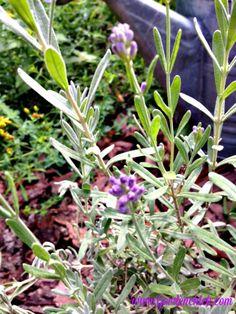 lavender in the herb garden www.GardenChick.com