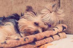 🔍 Yorkie Yorkshire Terrier dog  - get this free picture at Avopix.com    🏁 https://avopix.com/photo/19540-yorkie-yorkshire-terrier-dog    #terrier #Yorkie #yorkshire terrier #dog #hunting dog #avopix #free #photos #public #domain