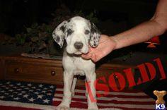 merlequin great dane puppies | Great Dane for Sale