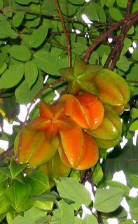 Flavors of Brazil: FRUITS OF BRAZIL - Starfruit (Carambola)