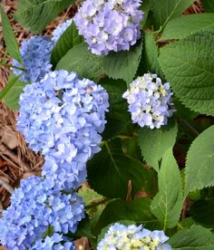 Tips for Growing Hydrangeas - The Ugly Duckling House