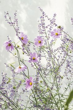 Krásenka zpeřená (C. Flowers Perennials, Cosmos, Wild Flowers, Grass, Dandelion, Bloom, Nature, Plants, Beautiful