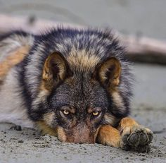 British Colombia coastal rain wolf photo by Paul Nicklen What sets them apart from other wolves is that 70% of their diet is marine.