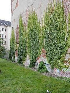 Plant Wall, Plant Decor, Landscape Design, Garden Design, Creepers Plants, Boston Ivy, Ivy Wall, Pergola Pictures, Ivy Plants
