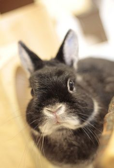 black bunny with a white nose