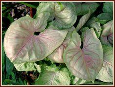 Los Syngonium podophyllum de interior