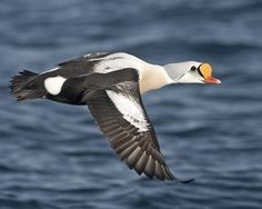 King Eider Duck Pictures, Arctic Tundra, Big Sea, Marine Ecosystem, Audubon Society, Game Birds, Duck Hunting, Beautiful Birds, King