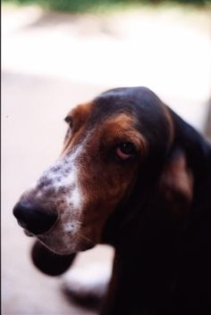 Basset artesien normand photo | Basset Artésien Normand Pictures & Photos | Dog Breed Images from ... Cute Dog Pictures, Dog Photos, Cute Puppies, Cute Dogs, Basset Artesien Normand, Dog Comics, Dog Jokes, Funny Dogs, Dog Breeds